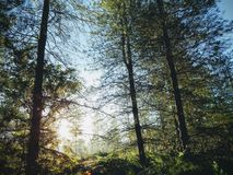 Sunny forest, trees in the morning light stock images