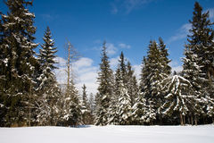 Sunny forest in winter. Forest in winter covered by snow in polish mountains Tatry Stock Photography
