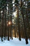 Sunny Forest. Winter sunset in the woods Royalty Free Stock Images