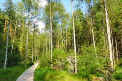 Sunny forest with a wooden pathway Royalty Free Stock Photos