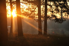 Sunny forrest Royalty Free Stock Photography