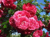 Sunny fresh roses. Dark pink climbing roses in the sunshine after rain Royalty Free Stock Images