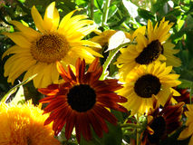 Sunny Garden. Bright sunflowers in a garden Stock Images