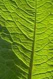 Sunny geeen leaf closeup Royalty Free Stock Photo