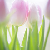 Sunny gentle soft pink tulips background Royalty Free Stock Images