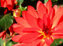 Sunny giant red dahlia flowers. Close up on sunny giant red dahlia flowers and buds in greenery stock photos