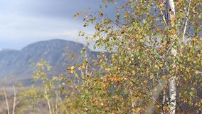 Sunny Golden Autumn Canopy. Small birch leaves in the wind scarlet and autumn afternoon sun, in a mountain area stock video footage