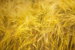 Sunny golden color barley field background Royalty Free Stock Photo