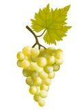 Sunny grape. Stock Photos