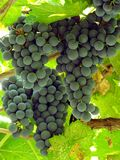 Sunny grape clusters Stock Image