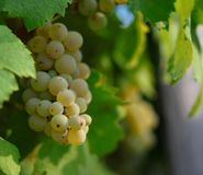 Sunny grapes Royalty Free Stock Images