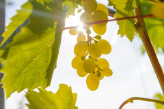 Sunny grapes Stock Images