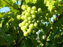 Sunny grapes Stock Photos