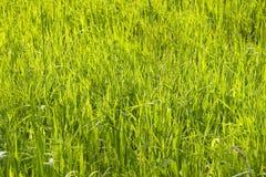 Sunny grass. Light green sunny spring grass Royalty Free Stock Photo