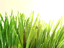 Sunny grass after rain Royalty Free Stock Photo