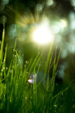 Sunny grass. Sunny shining against grass with dew Stock Images