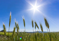 Sunny Grass. Sunstar with grass in Provence region of France Royalty Free Stock Photo