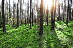 Sunny and green fores. T landscape Royalty Free Stock Photo