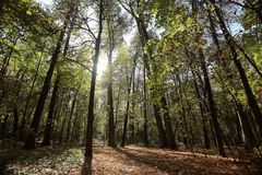 Sunny green forest. Autumn in sunny green forest Royalty Free Stock Image