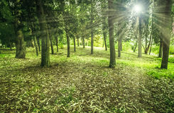 Sunny green forest with trees ray light early in the morning Royalty Free Stock Images