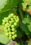 Sunny green grape Stock Photography