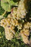 Sunny green grape Royalty Free Stock Photo