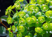 Mediterannean spurge. Plant with small green leaves in sunlight Royalty Free Stock Photos