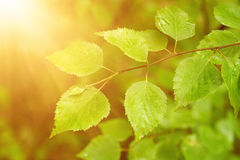 Sunny green leaves Stock Photos