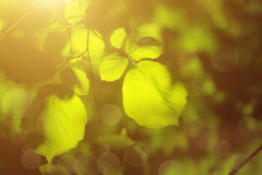 Sunny green leaves Stock Images