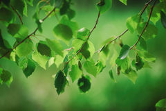 Sunny green leaves Stock Image