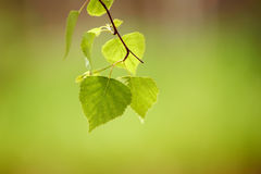 Sunny green leaves Royalty Free Stock Photography