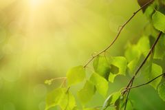 Sunny green leaves Royalty Free Stock Photo