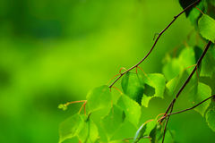 Sunny green leaves Royalty Free Stock Photos