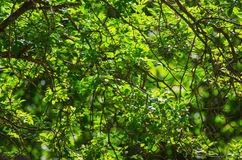 Sunny green leaves Stock Photography