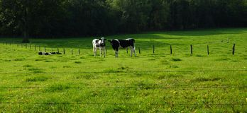 Sunny green meadow and two happy  cows Royalty Free Stock Images