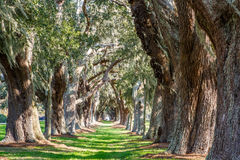 Sunny Green Path Between Oak Trees. LInes of old oak trees around a lane of green grass Royalty Free Stock Images