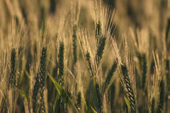 Sunny green wheat. Several green ears of corn placed in the sun, crossed Royalty Free Stock Photography