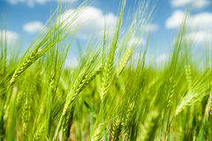 Sunny green wheat field Stock Photo
