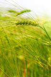 Sunny green wheat field closeup Royalty Free Stock Images