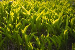 Sunny green young sprouts of tulips flowers Royalty Free Stock Images