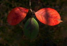 Sunny Highlights On Three Green y rojo brillantes, hojas del cinabrio del Prunus Padus en Forest Autumn Colors, cambio del árbol  imagen de archivo libre de regalías