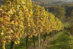 Sunny hills. In slovenian vineyards called Jeruzalem Royalty Free Stock Photography