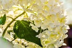 Sunny Hydrangea Stock Images