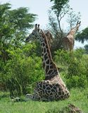 Sunny illuminated Giraffes in Uganda. Some Rothschild Giraffes in Uganda (Africa) surrounded by green vegetation royalty free stock photography