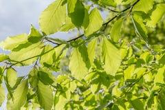 Sunny illuminated green foliage Royalty Free Stock Photo