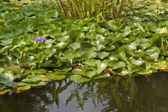 Sunny illuminated water lilies Stock Images