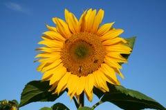 sunny kwiat obraz stock