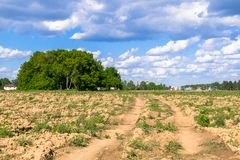 Sunny landscape of the countryside in the beginning of summer. Numerous weeds and recently laid bumpy path across the plowed field. Centuries-old oak grove on Stock Photography