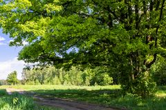 Sunny landscape of the countryside in the beginning of summer. A widely spreading shady oak tree next to the deserted country road. Vibrant colors of early Stock Photography