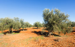 Sunny landscape with Olives field Royalty Free Stock Images